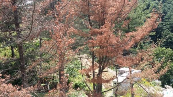 (주)자연사랑 / 산림청 소나무 재선충 방제